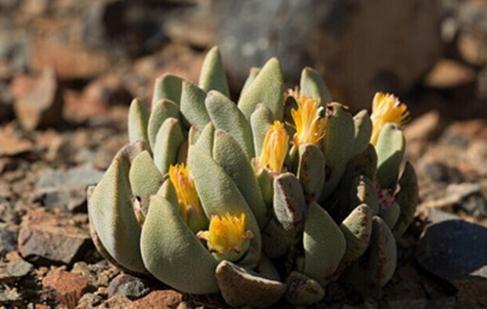 Pleiospilos compactus:紧凑凤卵