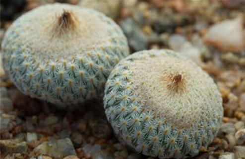Epithelantha micromeris:月世界