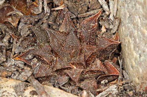 Haworthia maraisii:莫瑞沙