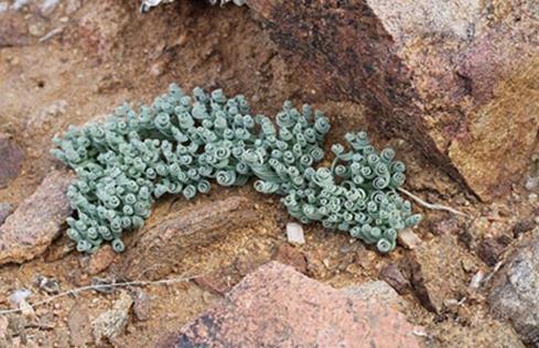 Gethyllis sp:又见弹簧草