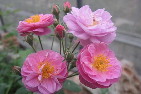 七姊妹蔷薇