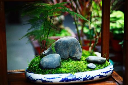 文竹盆景精美图片欣赏图片