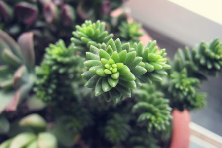 多肉植物-白花小松