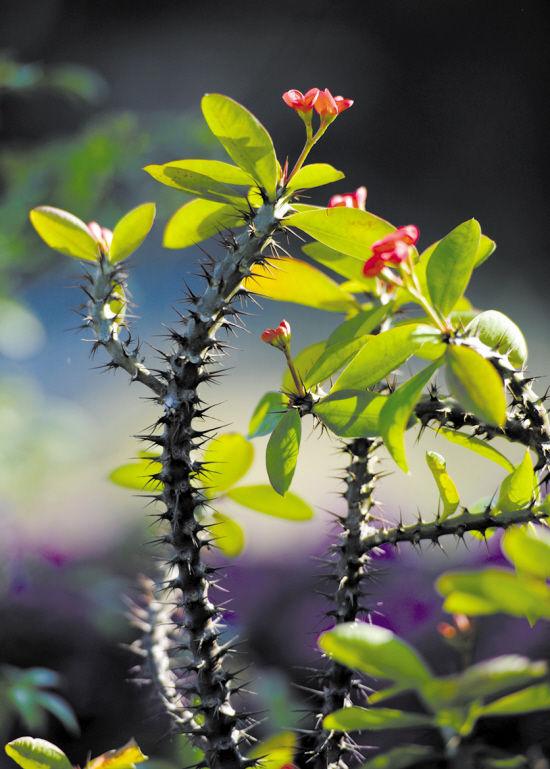 虎刺梅为什么不开花