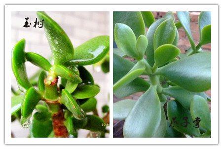 燕子掌和玉树的区别:茎