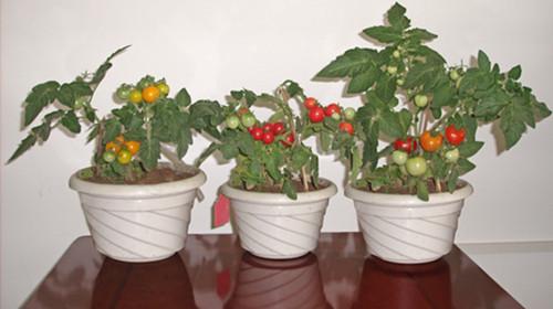 西红柿结果