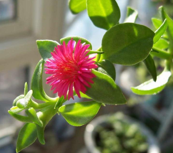 牡丹吊兰的养殖:水肥要求