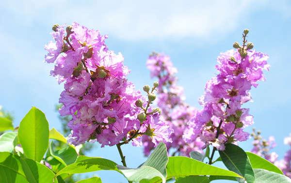 紫薇花的形态特征