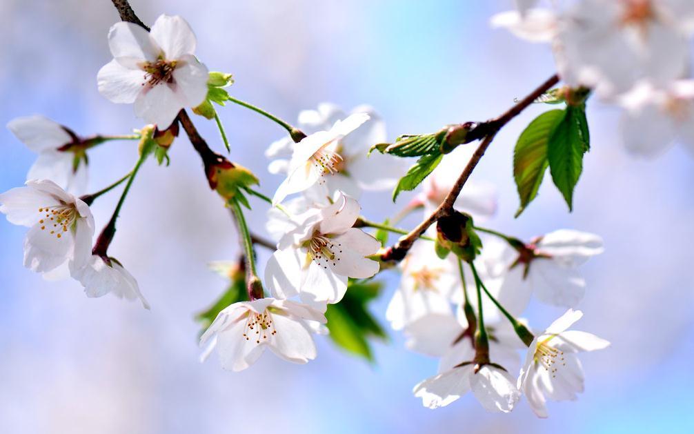 樱花常见种类
