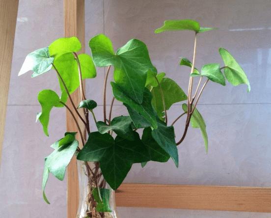 常春藤水培