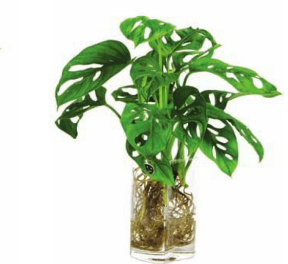 水培龟背竹