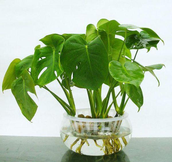 生长良好的水培龟背竹