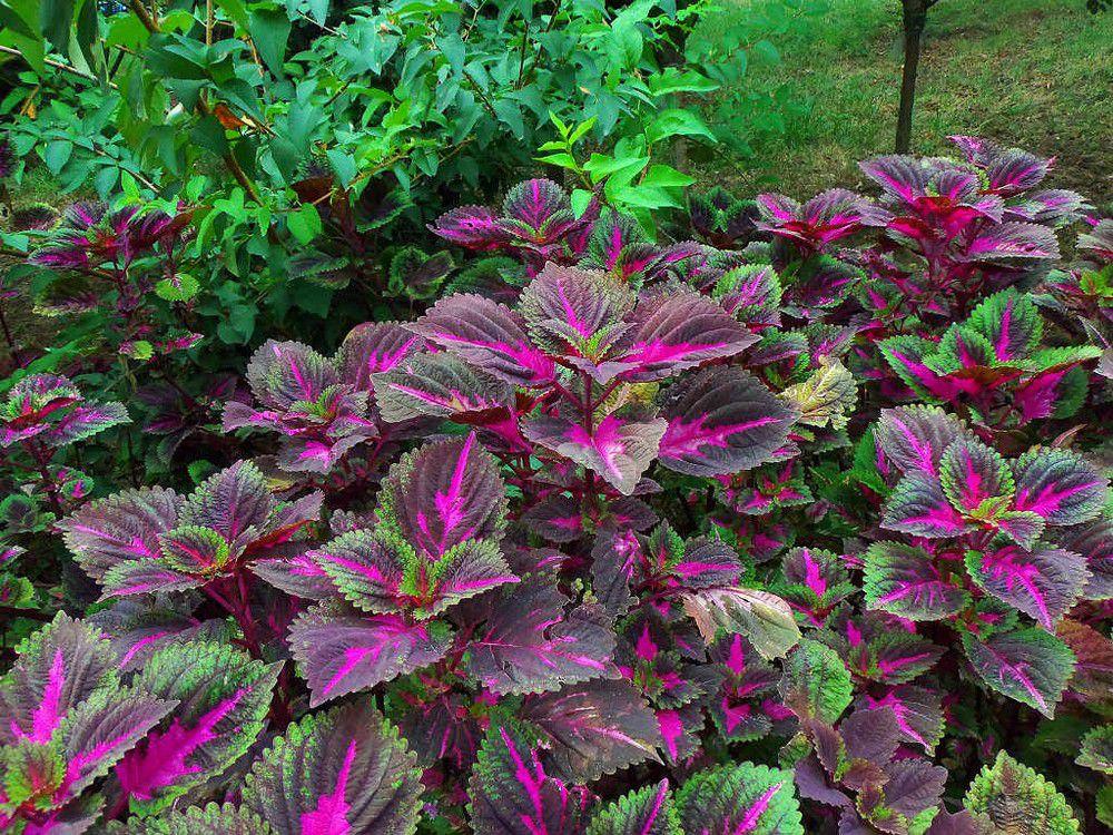 彩叶草的施肥方法:及时追肥