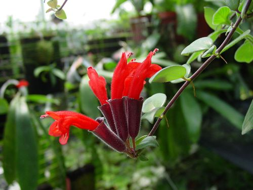 细萼口红花