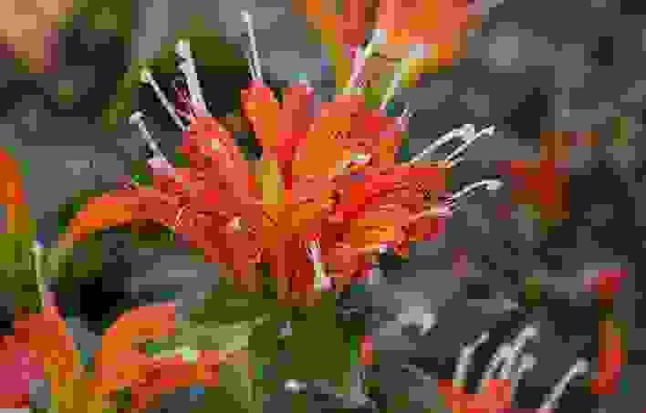 美丽口红花