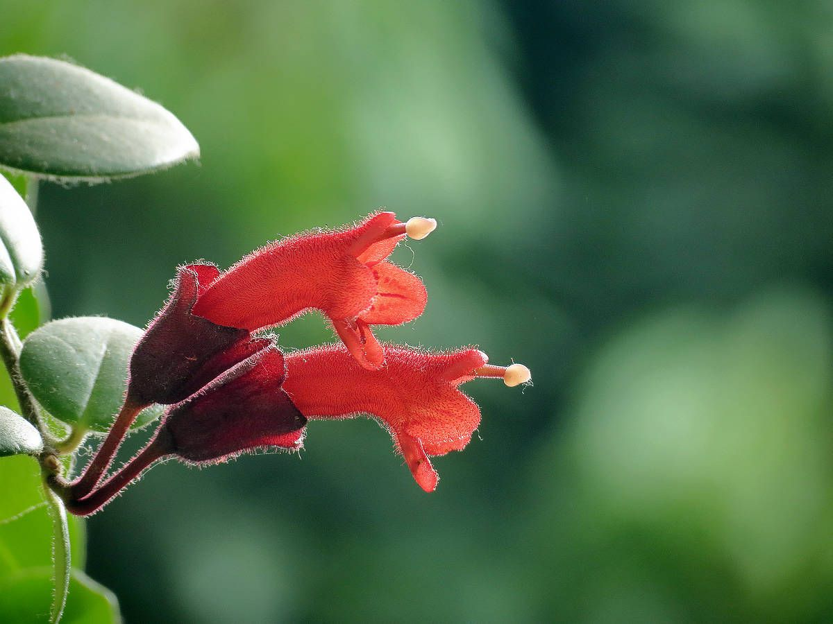 口红花秋季秋季该怎么施肥