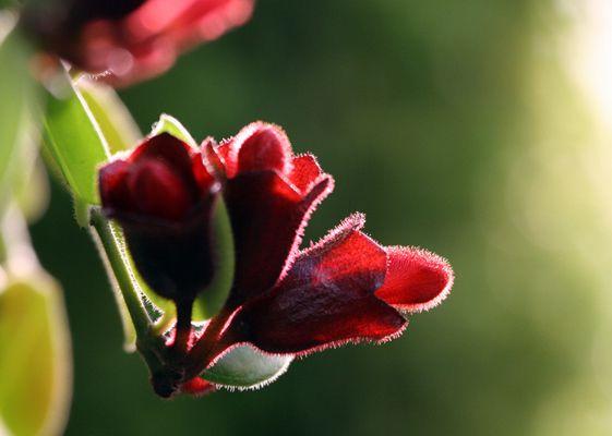 口红花的观赏价值
