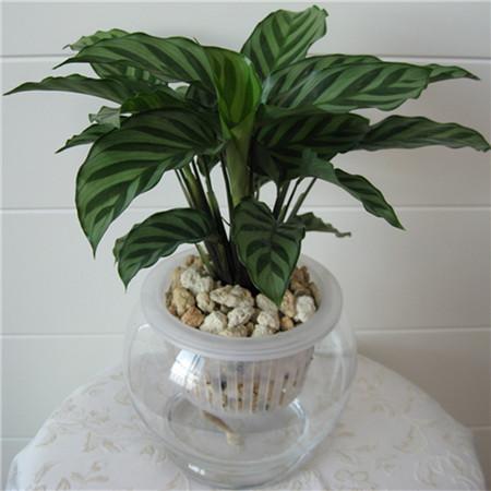 孔雀竹芋水培方法 基质选择