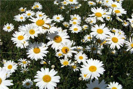 雏菊(延命菊) 愉快、幸福、纯洁、天真、和平、希望、美人、深埋心底的爱。