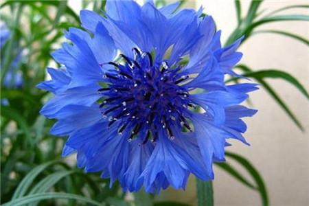蓝色水菊 善变固执无情的你。