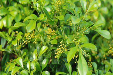 米兰花冬季养护:适当浇水