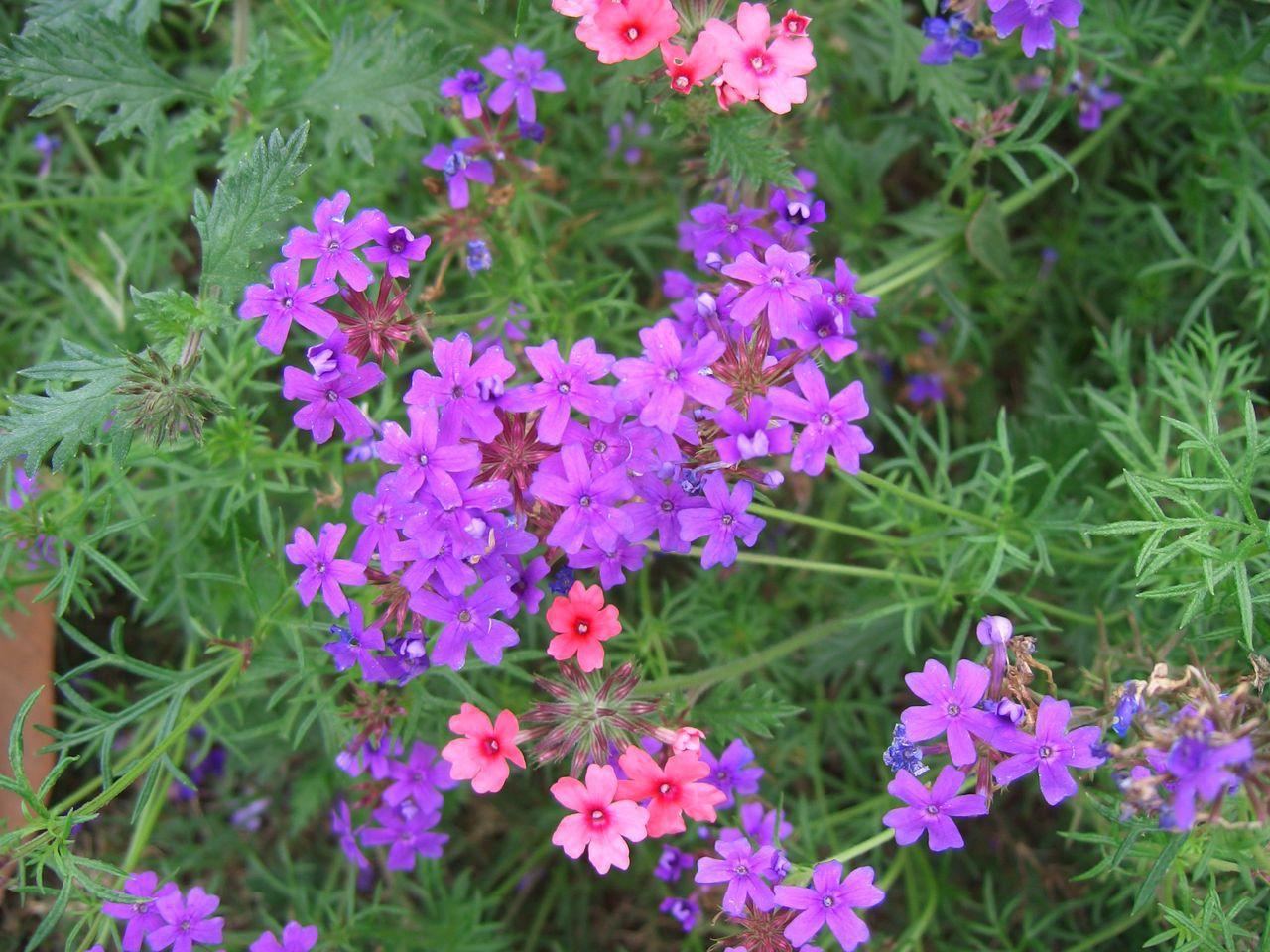 紫色美女樱