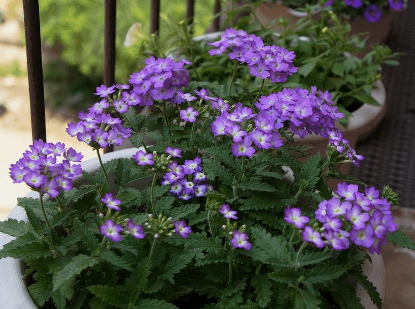 浅紫色美女樱