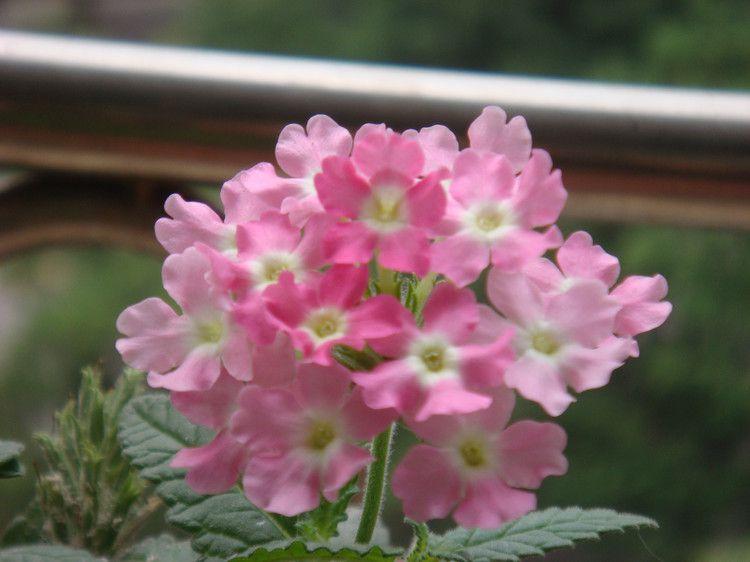 粉色美女樱