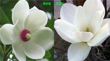 木兰和玉兰的花