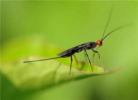 芍药虫害及防治方法