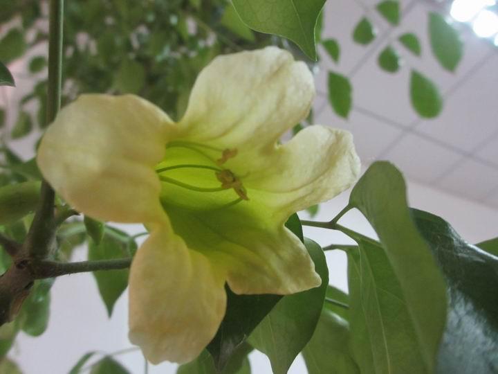 植物红掌怎么养_幸福树开花吗 - 花百科