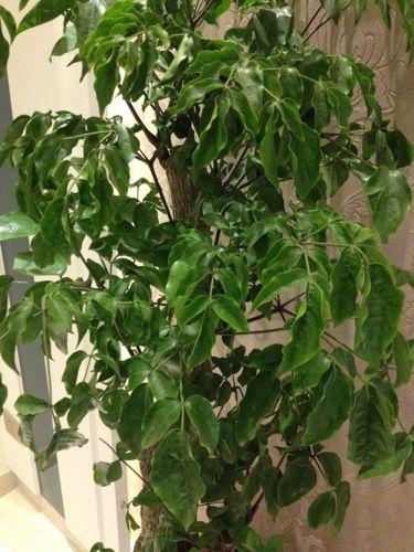 幸福树卷叶
