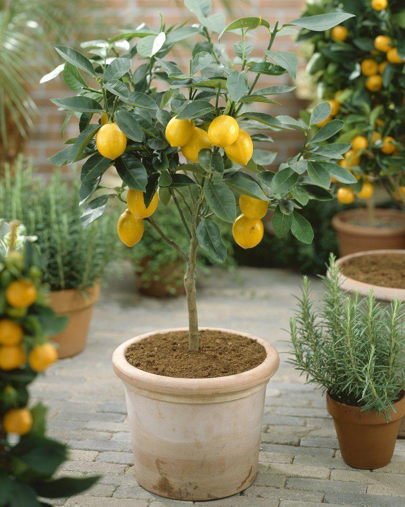 瘦高型金桔盆栽
