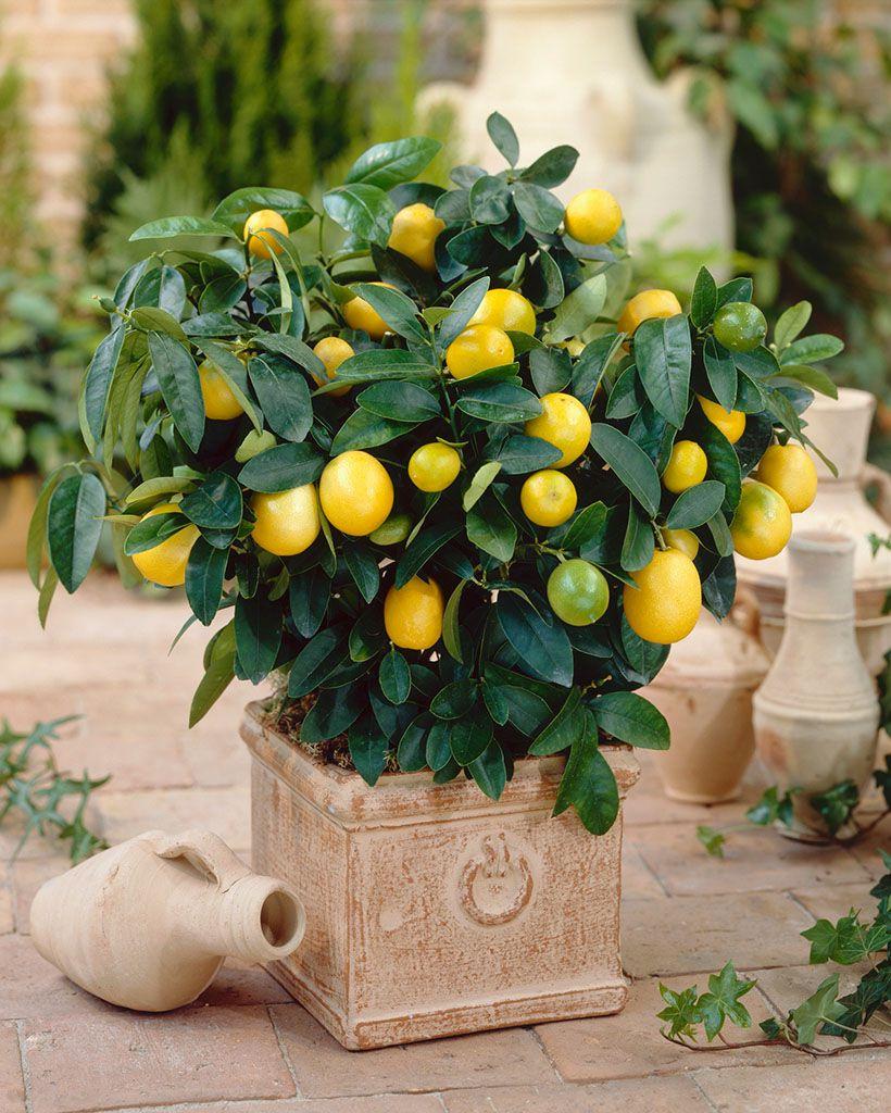 生长旺盛的金桔盆栽
