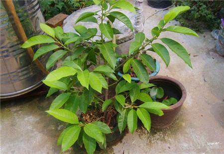 播种长大的木兰