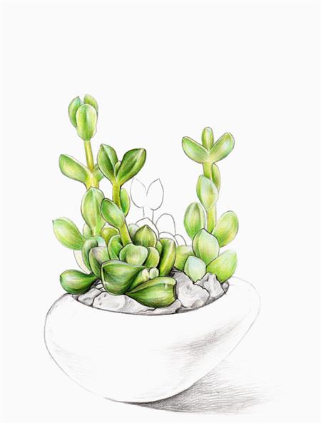 鹿角海棠的观赏作用