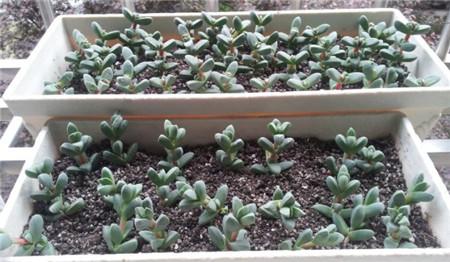 鹿角海棠栽种