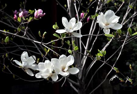 木兰花开枝头