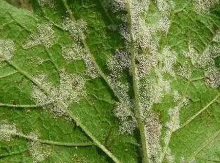 木兰叶斑病