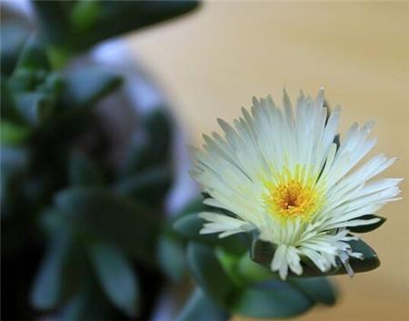 鹿角海棠花期是什么时候