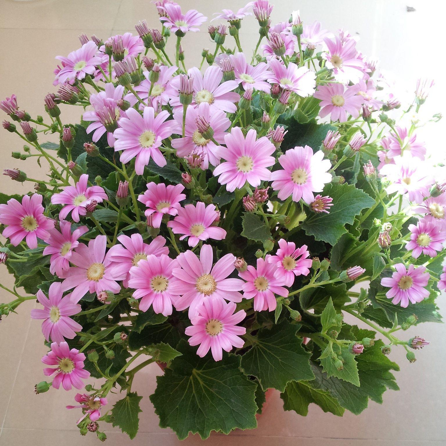 粉红色瓜叶菊