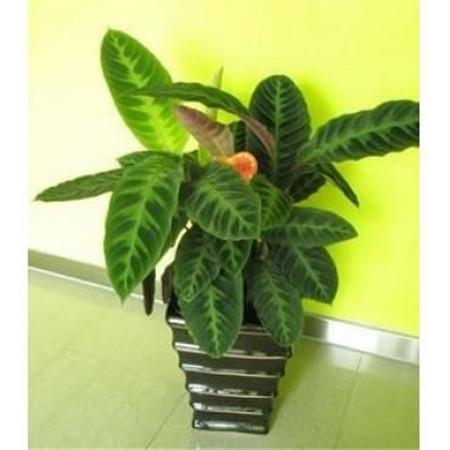 天鹅绒竹芋的图片