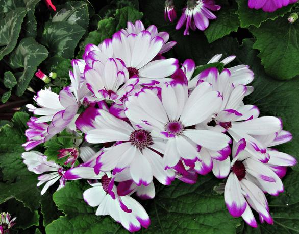 粉白色瓜叶菊