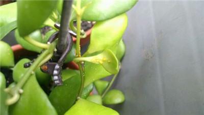 球兰虫害:介壳虫