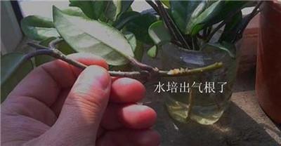 球兰水培:养护