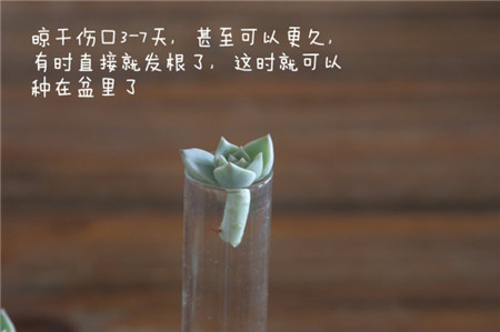 白牡丹晾根