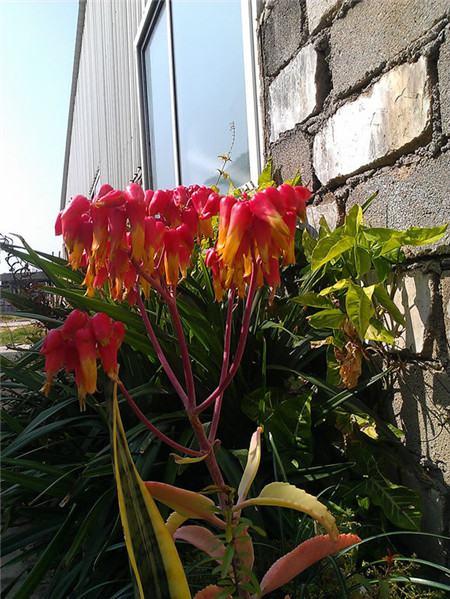 落地生根美丽的灯笼花