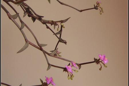 美丽的重扇花朵