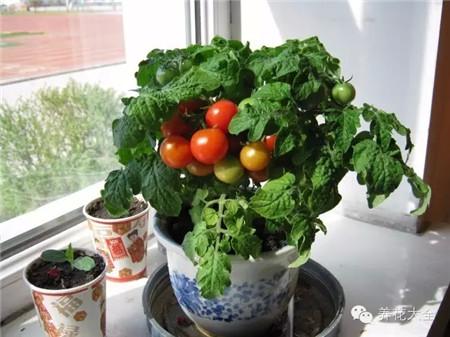 防虫害蔬菜之番茄