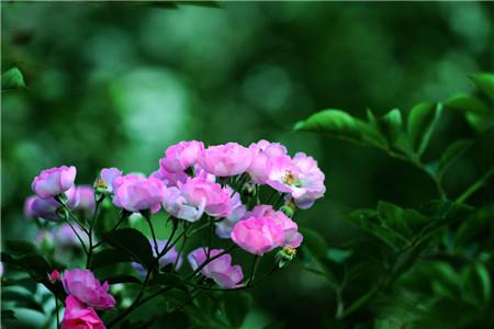 蔷薇花的生长需要阳光